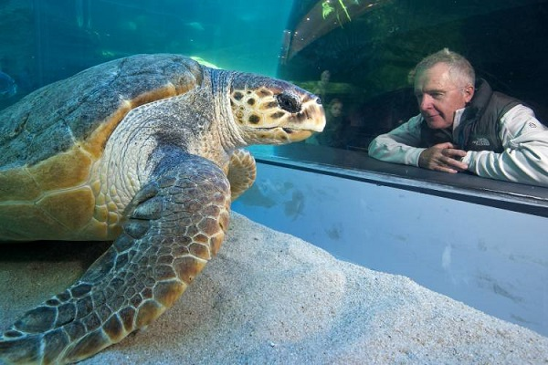 Yoshi the loggerhead turtle at Two Oceans Aquarium is being released