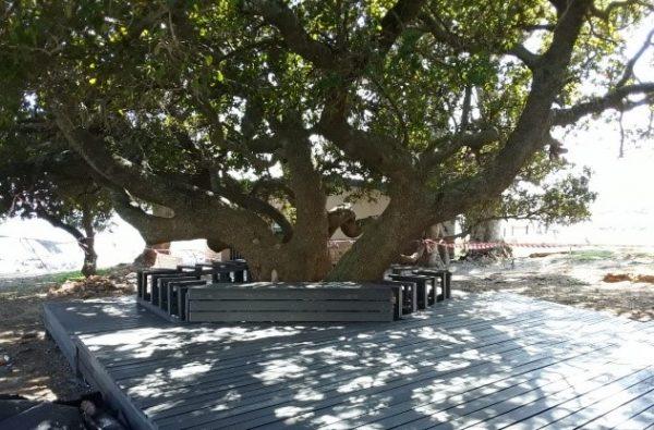 Milkwood trees, Gordon's Bay